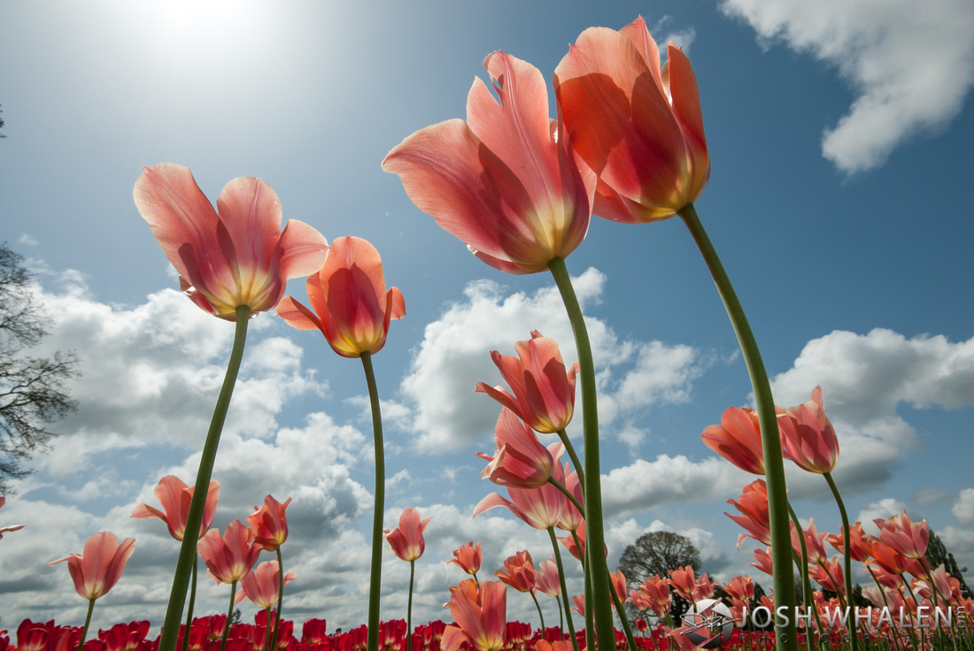 Image ID# Whalen-120428-2912 | Tulip Festival Two