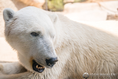 A close-up shot of a polar bear at the San Diego Zoo.