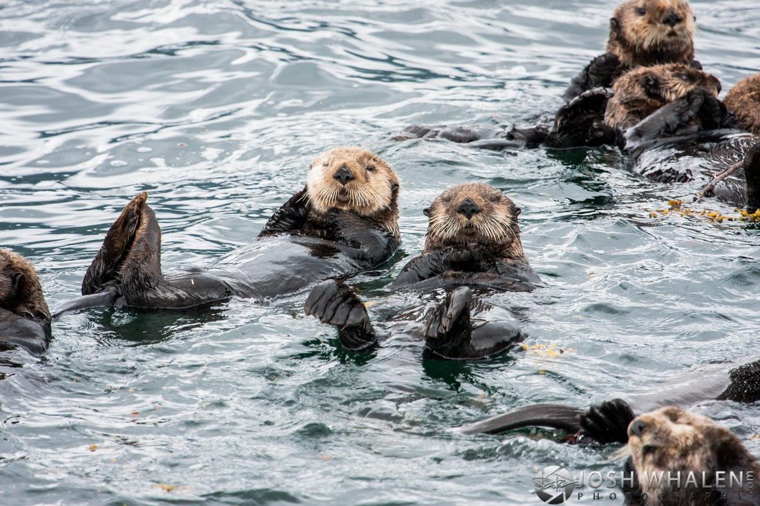 Image ID# Whalen-090720-1681 | Alaskan Sea Otters