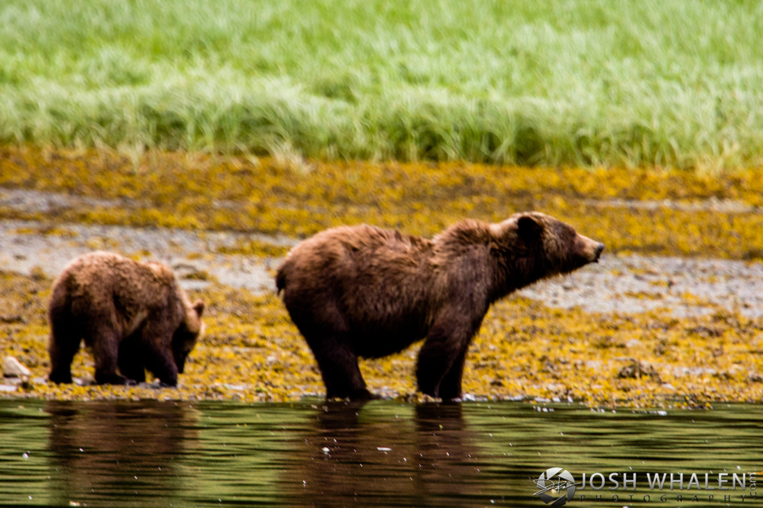 Image ID# Whalen-090717-1476 | Brown Bear Prince of Wales Island One